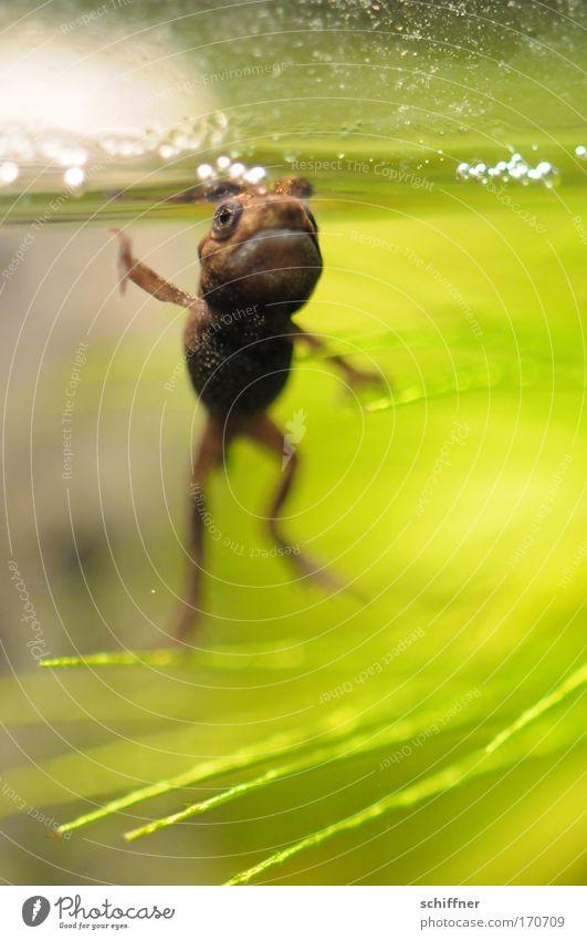 Huhu! Farbfoto Makroaufnahme Froschperspektive Umwelt Natur Wasser Teich See Aquarium dünn klein grün Umweltschutz Kaulquappe Molch Kröte winken Begrüßung