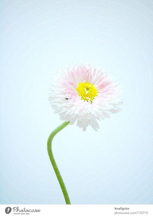 Der Sonne entgegen Farbfoto Studioaufnahme Nahaufnahme Menschenleer Textfreiraum rechts Textfreiraum oben Hintergrund neutral Natur Pflanze Gänseblümchen