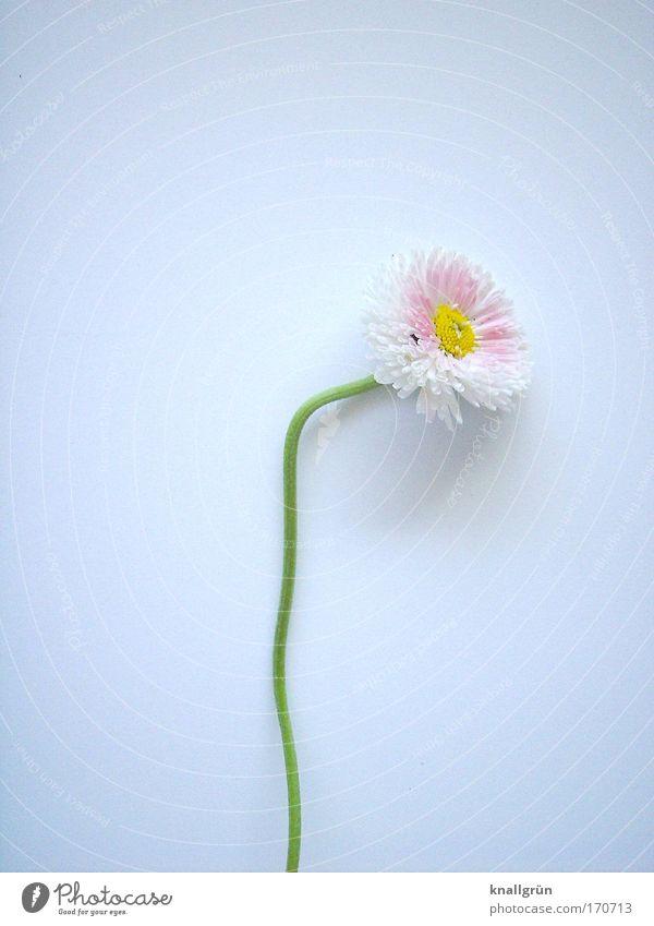 Ich lag schon auf dem Kompost Natur schön weiß grün Pflanze gelb rosa Blühend Gänseblümchen krumm gepflückt