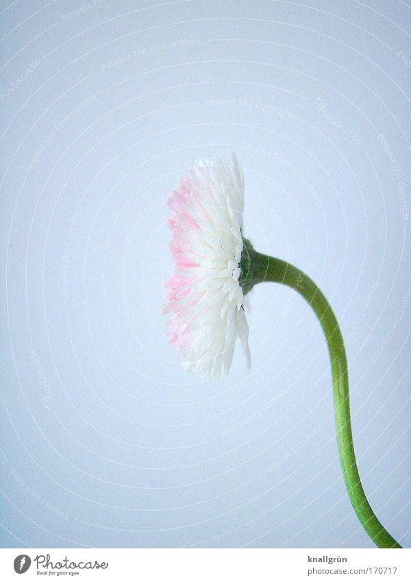 Profil Natur weiß grün Pflanze Blüte rosa Stengel Blühend Gänseblümchen krumm Licht