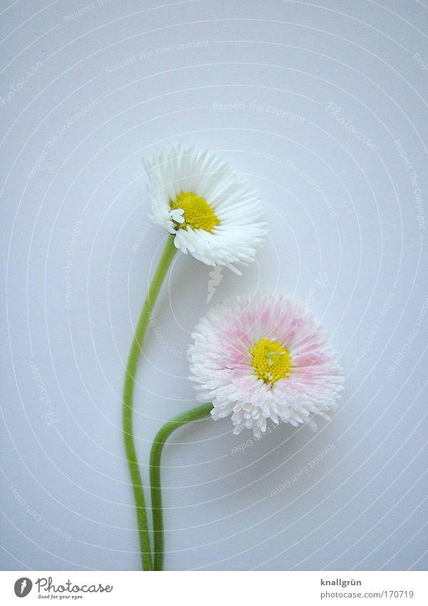 Zuneigung Farbfoto Studioaufnahme Nahaufnahme Menschenleer Textfreiraum oben Textfreiraum unten Hintergrund neutral Natur Pflanze Gänseblümchen Blühend schön