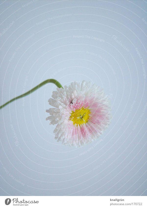 Kopflastig Natur schön weiß grün Pflanze gelb rosa Blühend Gänseblümchen krumm