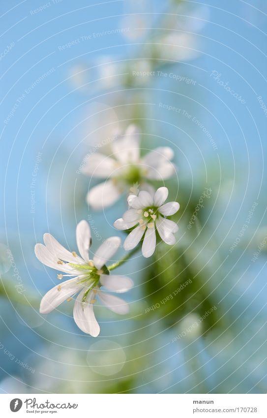 Blümli Natur blau Pflanze schön Farbe weiß Sommer Erholung Blume ruhig Umwelt Frühling Blüte Stil hell glänzend