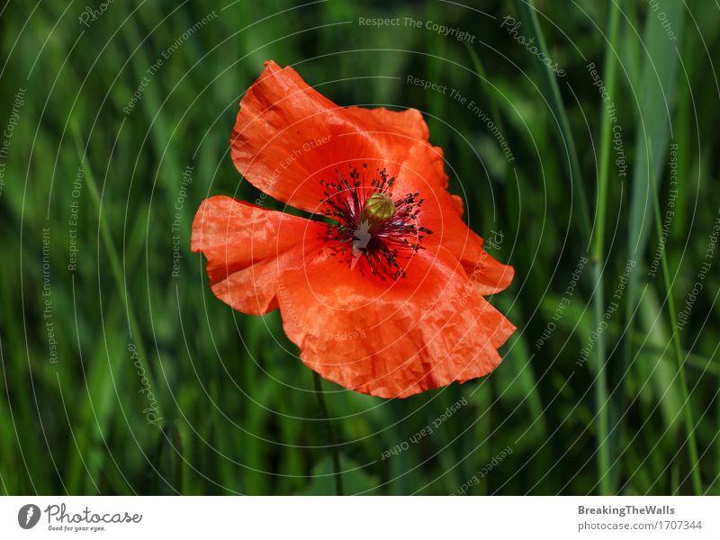 Rote Mohnblume Papaver-Blume im grünen Gras der Sommerwiese Natur Pflanze Farbe schön rot Blüte Wiese Feld Wachstum frisch offen Blühend