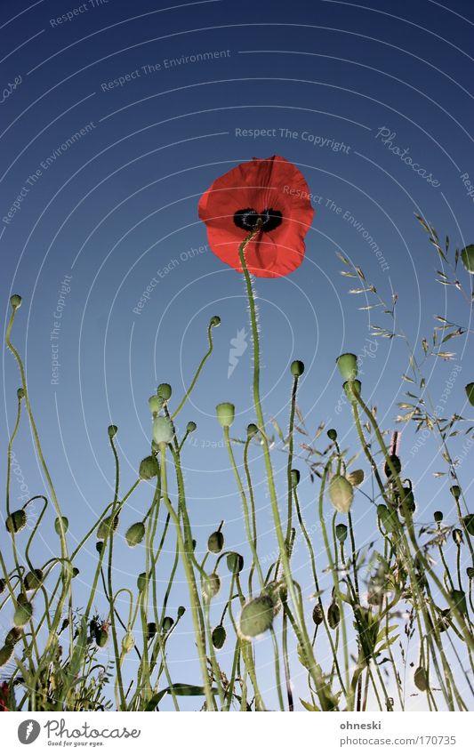 No man on the mohn Natur Himmel Blume grün blau Pflanze rot Sommer Feld glänzend Umwelt Kitsch natürlich Blühend Mohn Schönes Wetter