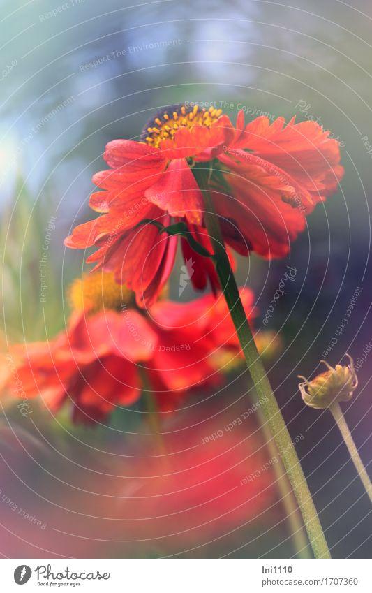 Sonnenbraut in rot Pflanze Sonnenlicht Sommer Blume Blüte Helenium Garten Park frech schön braun mehrfarbig gelb grau grün orange Warmherzigkeit Romantik Natur