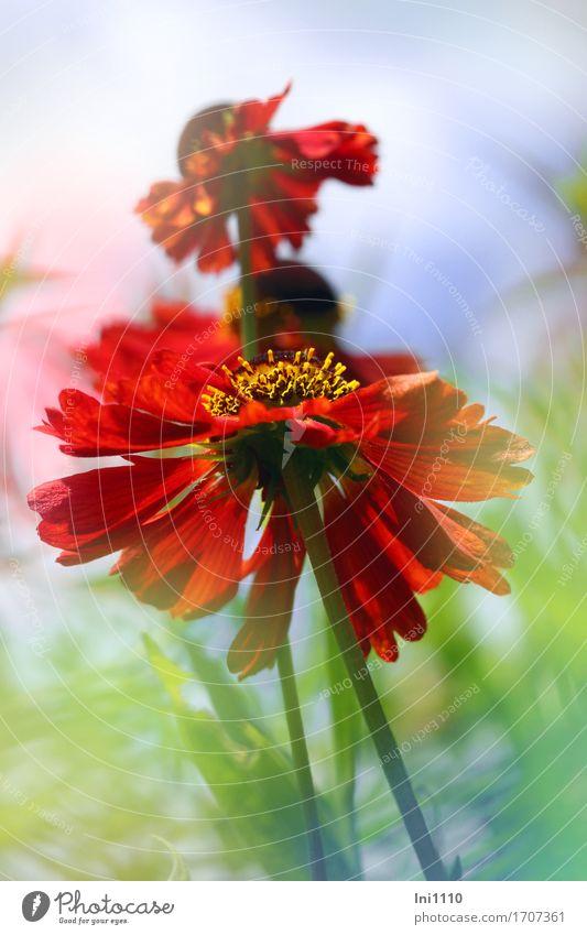 Sonnenbraut Himmel blau Sommer grün weiß Blume Blatt gelb Blüte braun orange rosa Luft Schönes Wetter Romantik zart