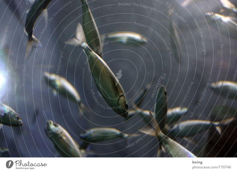 Freitagsfisch Meer Lebensmittel Fisch tauchen Lebensfreude Wildtier Angeln Fischer Atlantik Schwarm Brunft Forelle Lachs Sardinen
