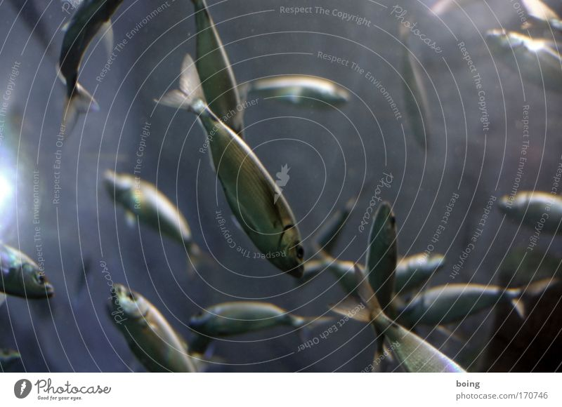 Freitagsfisch Unterwasseraufnahme Gegenlicht Lebensmittel Fisch Angeln tauchen Fischer Meeresbiologe Atlantik Wildtier Schwarm Brunft Lebensfreude Sardinen
