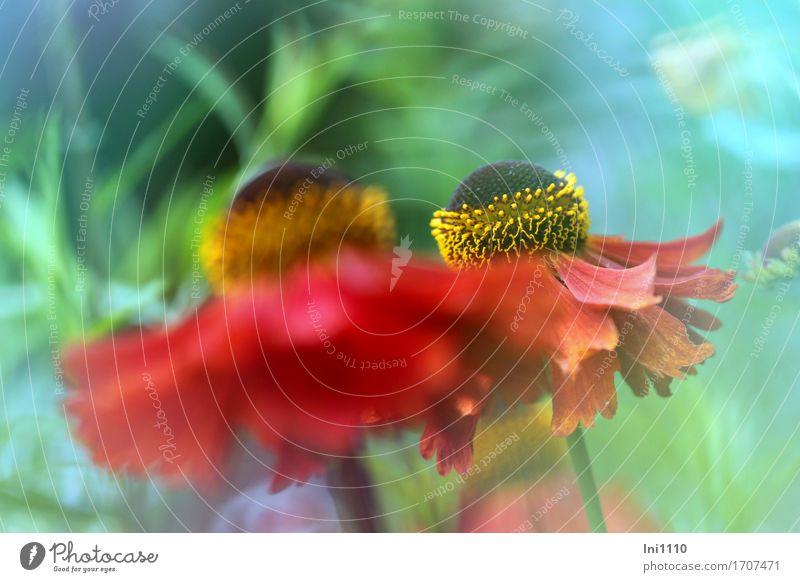 Sonnenbraut in rot Natur Pflanze Sommer Blume Blüte Helenium Garten Park schön natürlich rund blau braun mehrfarbig gelb grün orange Sommerblumen Bananenstaude
