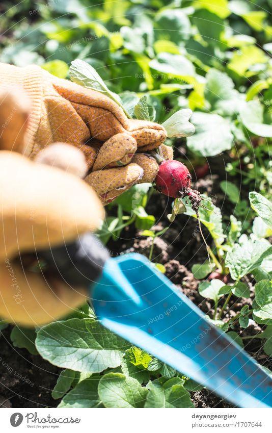 Radieschen im Garten pflücken Frau Natur Pflanze Sommer grün Hand rot Blatt Erwachsene Wachstum Erde frisch Gemüse Ernte Vegetarische Ernährung