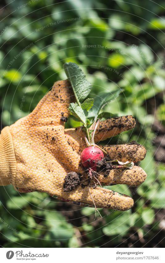 Frau Natur Pflanze Sommer grün Hand rot Blatt Erwachsene Garten Wachstum Erde frisch Gemüse Ernte Vegetarische Ernährung