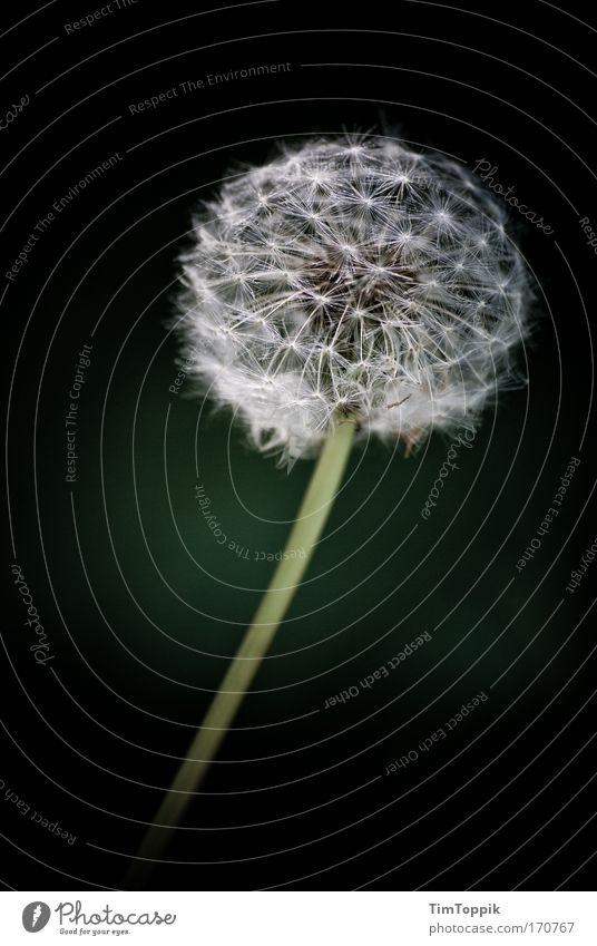Blowball Außenaufnahme Blume Löwenzahn schön blasen Stengel ästhetisch Pollen Blüte grün Umweltschutz Pflanzenschutz friedlich
