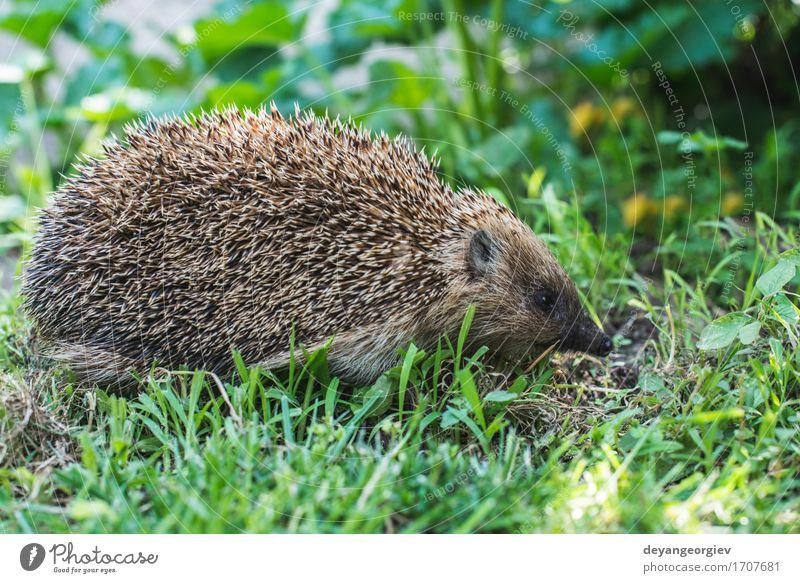 Igel auf grünem Gras Sommer Garten Natur Pflanze Tier Wald klein natürlich stachelig wild braun Rasen Säugetier Tierwelt Borsten Verteidigung Nadel Schnauze