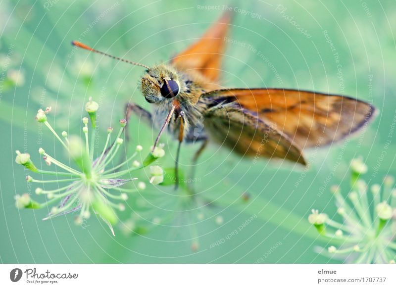 sunshine reggae (2) Sommer Blüte Doldenblüte Schmetterling Dickkopffalter Facettenauge Fühler Flügel Blühend sitzen Duft elegant frei schön klein Glück