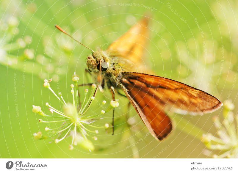 sunshine reggae (3) Natur Pflanze Tier Sommer Blüte Doldenblüte Schmetterling Dickkopffalter Flügel Facettenauge Fühler Duft sitzen frei hell klein nah grün