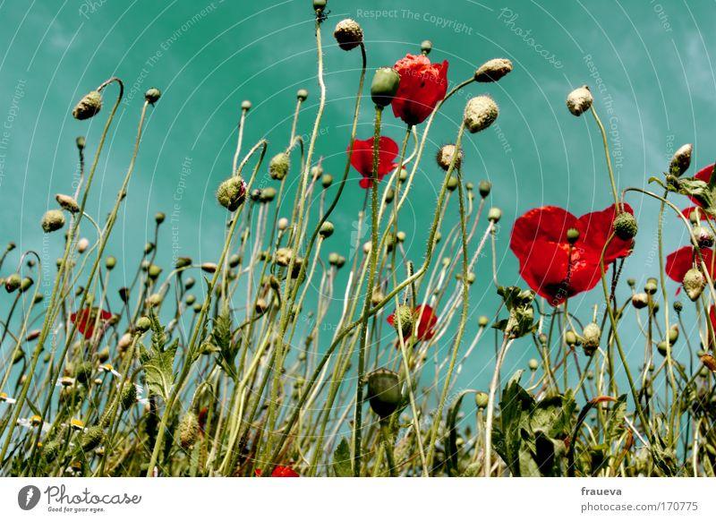 klatsch für den mohn 2 Farbfoto mehrfarbig Außenaufnahme Tag Sonnenlicht Froschperspektive Umwelt Natur Pflanze Tier Himmel Wolken Sommer Schönes Wetter Blume