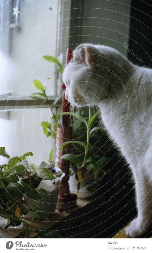 Ganz schön kalt da draußen alt weiß Pflanze Winter ruhig Tier Fenster Katze Zufriedenheit Stimmung warten Wohnung Häusliches Leben Warmherzigkeit Neugier Geborgenheit