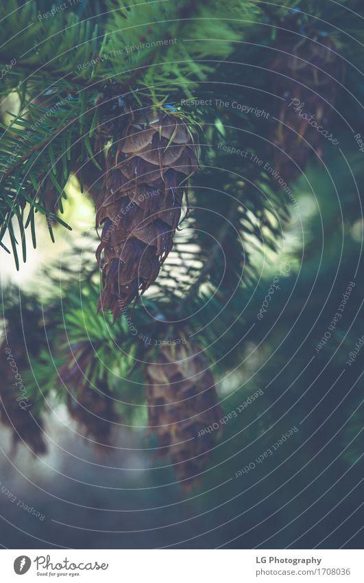 Nahaufnahme eines pinecone, der an einem immergrünen Tannenbaum hängt. Sommer Dekoration & Verzierung Natur Pflanze Baum Wald natürlich neu Immergrün erhängen
