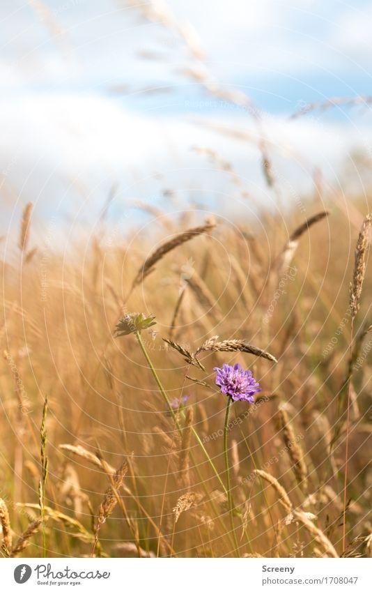 Einzigartig Natur Landschaft Pflanze Himmel Wolken Sommer Schönes Wetter Blume Gras Wildpflanze Feld Eifel Blühend Wachstum klein blau gelb violett weiß