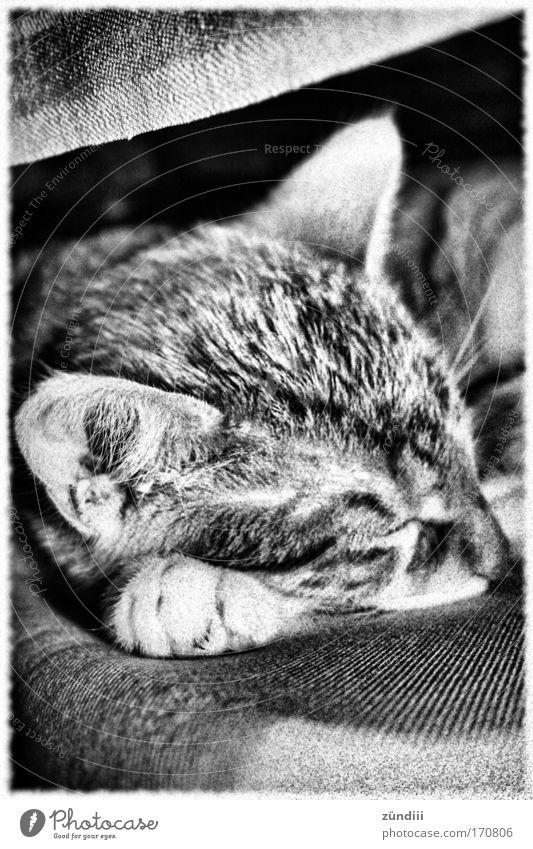 KatzeSchlaf Schwarzweißfoto Innenaufnahme Textfreiraum oben Textfreiraum unten Morgen Sonnenlicht Zentralperspektive Tierporträt geschlossene Augen Haustier