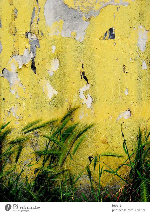 Grungy Berlin grows so fast Natur alt Pflanze grün gelb Wand Gras Mauer grau Stein Stimmung Sand Fassade Wachstum authentisch Wind