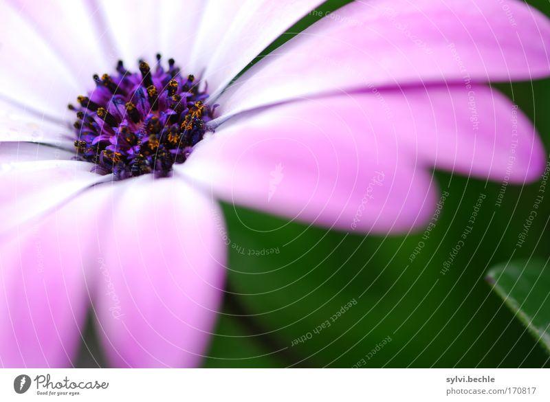 Plümschn Natur Pflanze Sommer Blume Blüte Duft natürlich schön weich grün violett rosa weiß Umwelt Pollen Blühend Farbfoto mehrfarbig Außenaufnahme Nahaufnahme