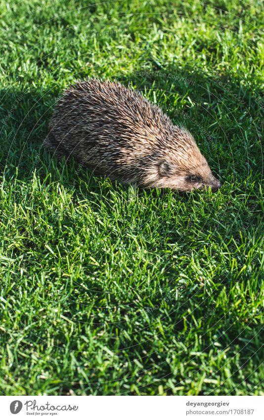 Igel auf einer Bergwiese Sommer Garten Natur Pflanze Tier Gras Wald klein natürlich stachelig wild braun grün Rasen Säugetier Tierwelt Borsten Verteidigung