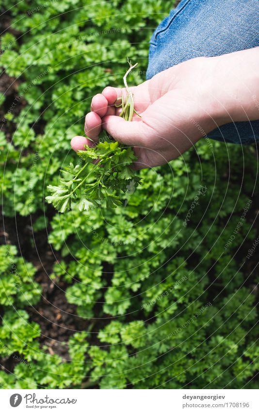 Erntepetersilie in einem Hausgarten Gemüse Kräuter & Gewürze Topf Garten Gartenarbeit Natur Pflanze Blatt Wachstum frisch natürlich grün Farbe Petersilie