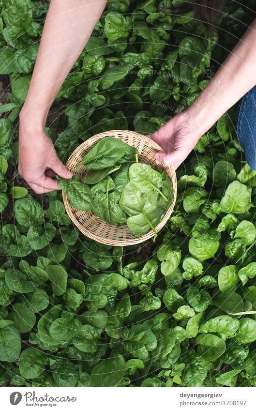 Natur Pflanze grün Hand Landschaft Blatt natürlich Garten Wachstum frisch Boden Gemüse Bauernhof Ernte Ackerbau ländlich
