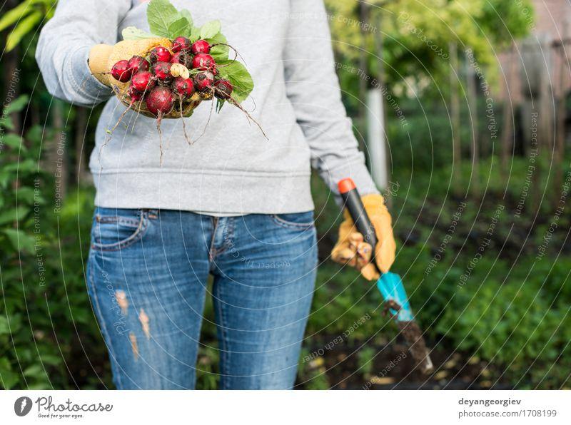 Frauengriffbündel Rettiche Natur Pflanze Sommer grün Hand rot Erwachsene Garten frisch Gemüse Bauernhof Ernte Vegetarische Ernährung Gartenarbeit Halt