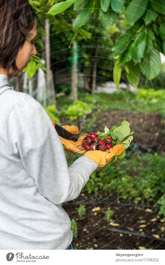 Frauengriffbündel Rettiche Gemüse Vegetarische Ernährung Sommer Garten Gartenarbeit Erwachsene Hand Natur Pflanze frisch grün rot Radieschen Haufen organisch