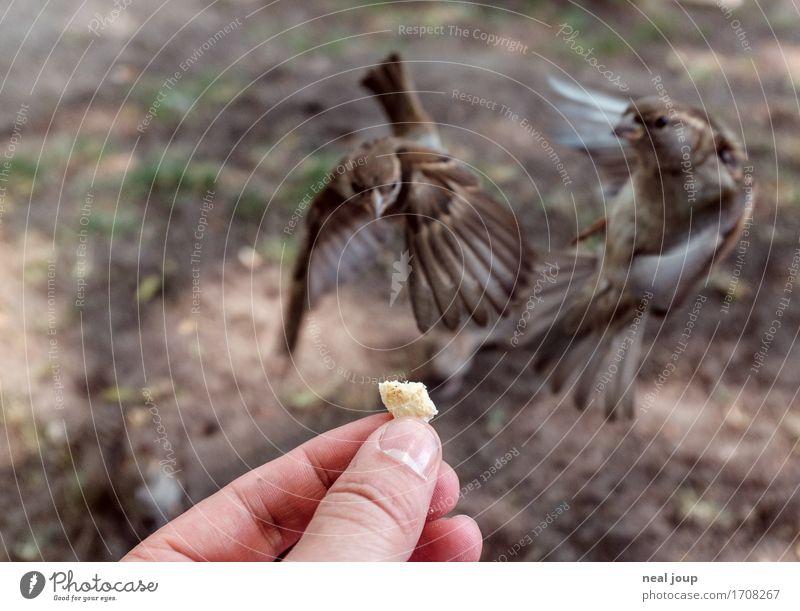 Lecker Fresschen - I Brot Fastfood Hand Finger Vogel Spatz 2 Tier fliegen Fressen füttern Jagd elegant frech listig Geschwindigkeit braun Erfolg Mut gefräßig