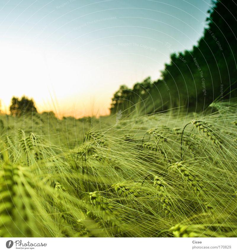 Kornfeld ohne Bett Farbfoto Außenaufnahme Menschenleer Textfreiraum oben Abend Dämmerung Sonnenlicht Sonnenaufgang Sonnenuntergang Schwache Tiefenschärfe
