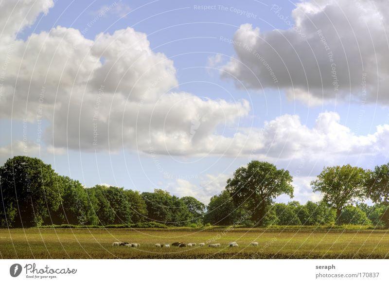 Weideland Baum Wald Wiese Gras Freiheit Himmel (Jenseits) Landschaft Landwirtschaft Pflanze Schaf Ackerbau Säugetier Grasland Wolle Hauskatze pflanzlich