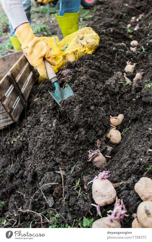 Kartoffeln pflanzen Frau Natur Pflanze Hand Erwachsene natürlich Garten Wachstum Erde frisch Boden Gemüse Bauernhof Ackerbau Gartenarbeit Kiste