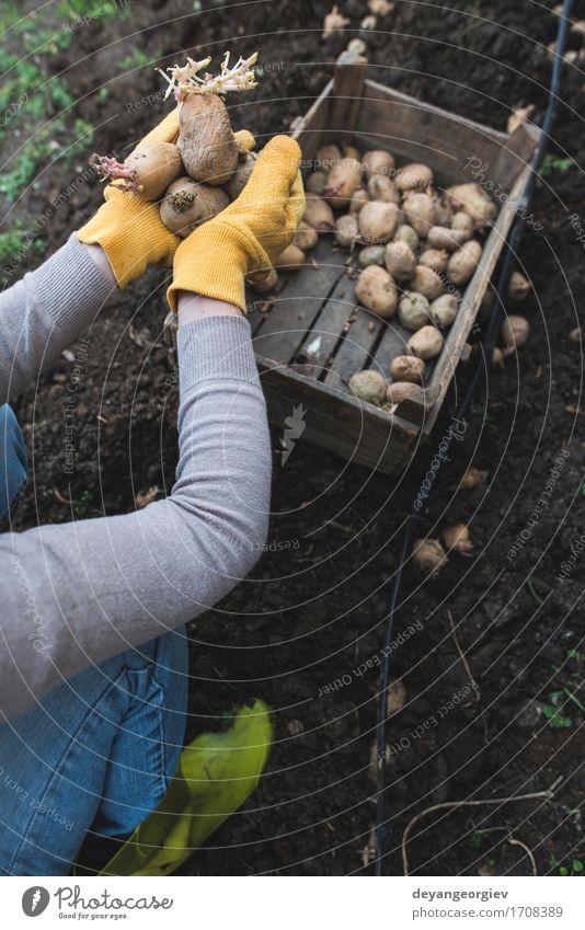 Kartoffeln pflanzen Gemüse Garten Gartenarbeit Frau Erwachsene Hand Natur Pflanze Erde Wachstum frisch natürlich Samen Lebensmittel organisch Kiste Ackerbau