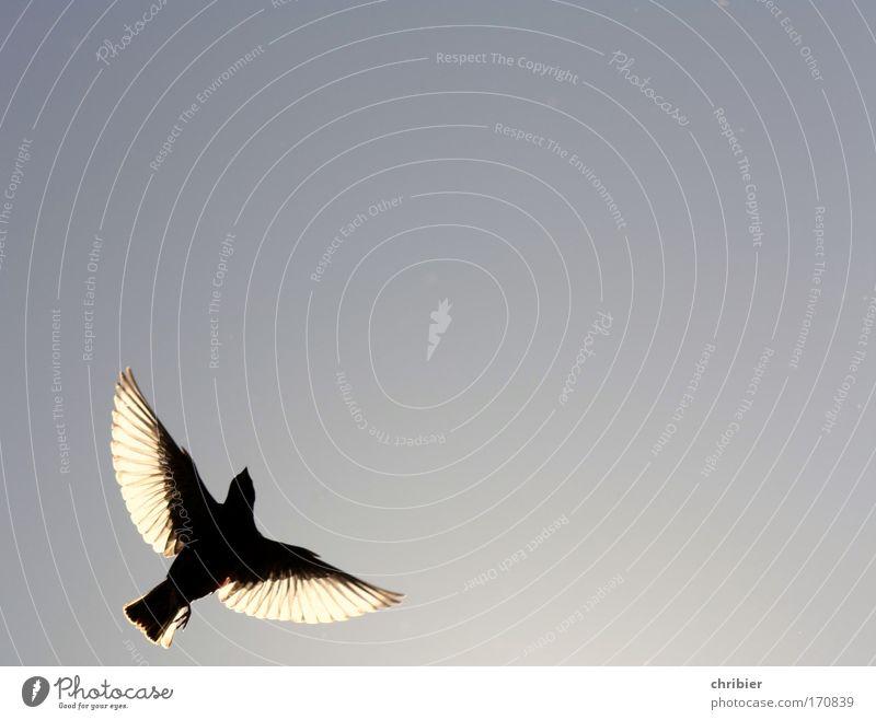 Nähme ich Flügel... Außenaufnahme Textfreiraum rechts Textfreiraum oben Kontrast Silhouette Lichterscheinung Gegenlicht Natur Tier Luft Himmel Vogel Star 1