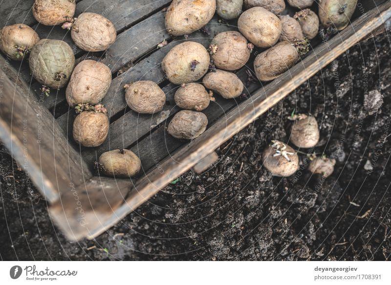 Kartoffeln pflanzen Natur Pflanze natürlich Garten Wachstum Erde frisch Boden Gemüse Bauernhof Ackerbau Gartenarbeit Kiste Wurzel roh
