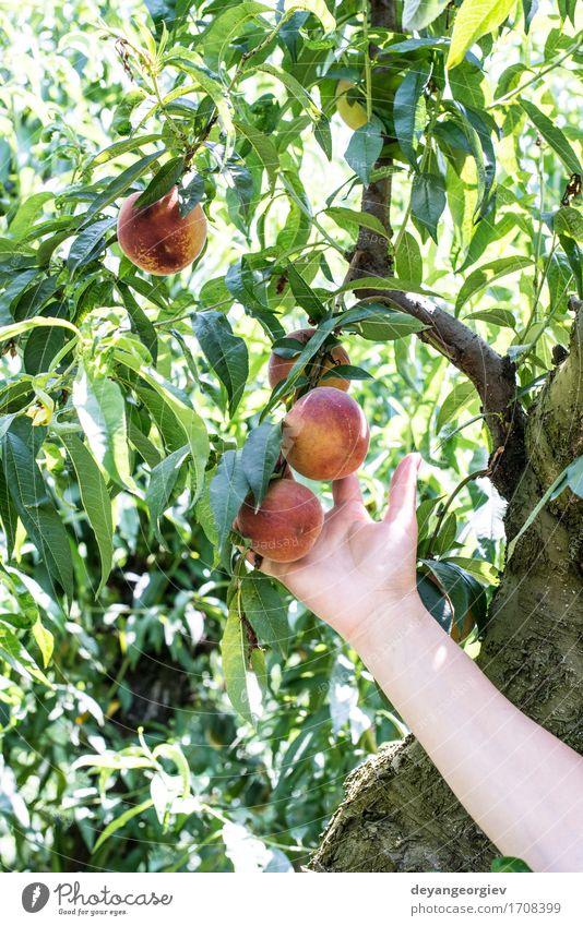 Frau Sommer grün Baum Hand rot Erwachsene Garten Frucht Wachstum frisch lecker Bauernhof Ernte Diät Landwirt