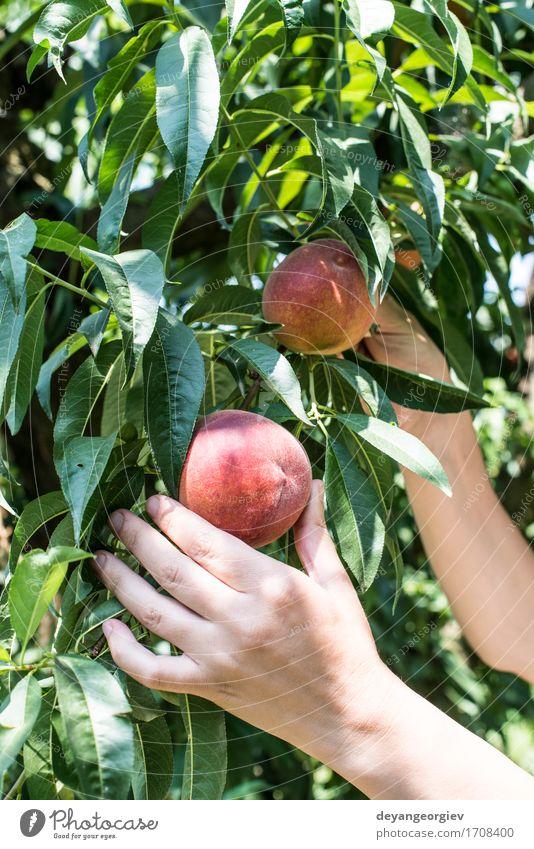 Frau pflücken Pfirsiche Frucht Diät Saft Sommer Garten Gartenarbeit Erwachsene Hand Baum Wachstum frisch lecker saftig grün rot Ast Ernte Obstgarten Landwirt