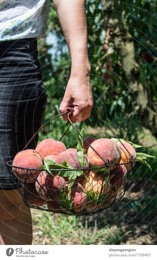 Frauengriffkorb mit Pfirsichen Sommer grün Baum rot Erwachsene Garten Frucht Wachstum frisch lecker Bauernhof Ernte Diät Landwirt Gartenarbeit