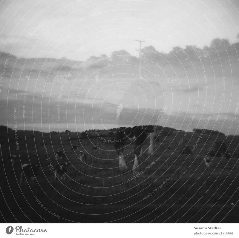Phantomkuh Schwarzweißfoto Außenaufnahme Experiment Lomografie Holga abstrakt Dämmerung Kontrast Reflexion & Spiegelung Unschärfe Blick in die Kamera Natur