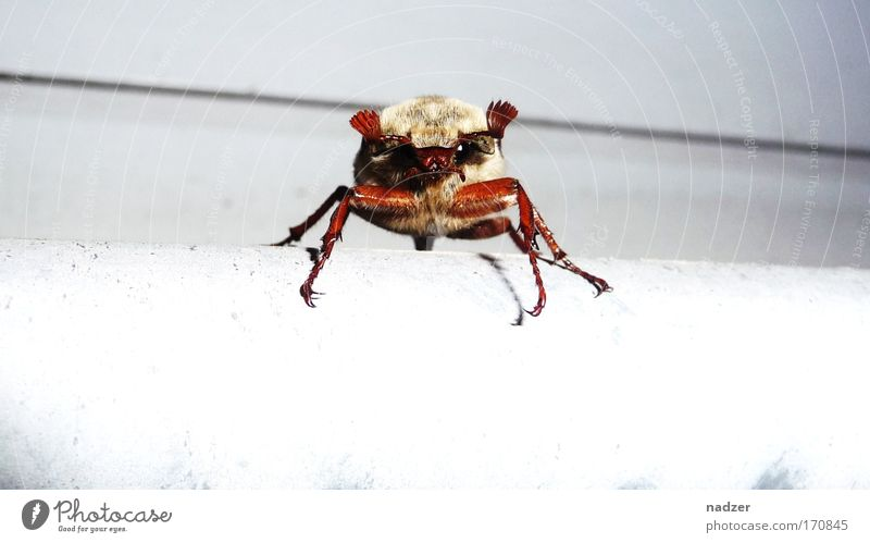 Maikäfer Tier Käfer 1 beobachten Bewegung krabbeln bedrohlich Neugier braun weiß Farbfoto Außenaufnahme Nahaufnahme Detailaufnahme Blick in die Kamera