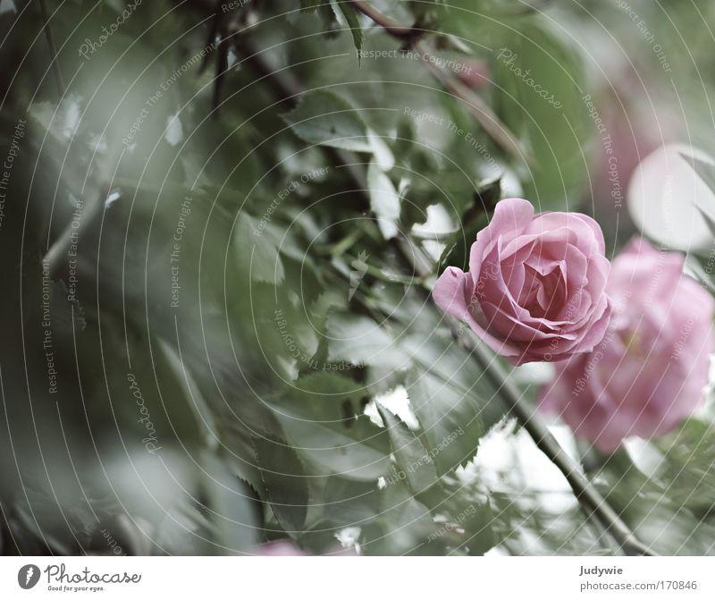 Im Rosengarten III Natur Pflanze grün schön Sommer Blume Traurigkeit Blüte Gefühle Frühling Kunst Stimmung rosa Park träumen Blühend