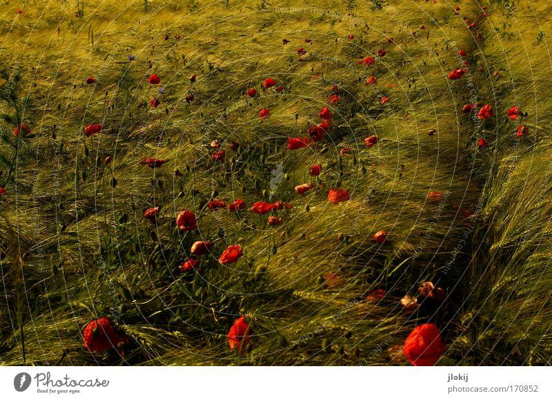 Feld-Studie Natur grün Pflanze rot Sommer ruhig Blüte Feld Wachstum weich Blühend verblüht Grünpflanze Nutzpflanze Wildpflanze