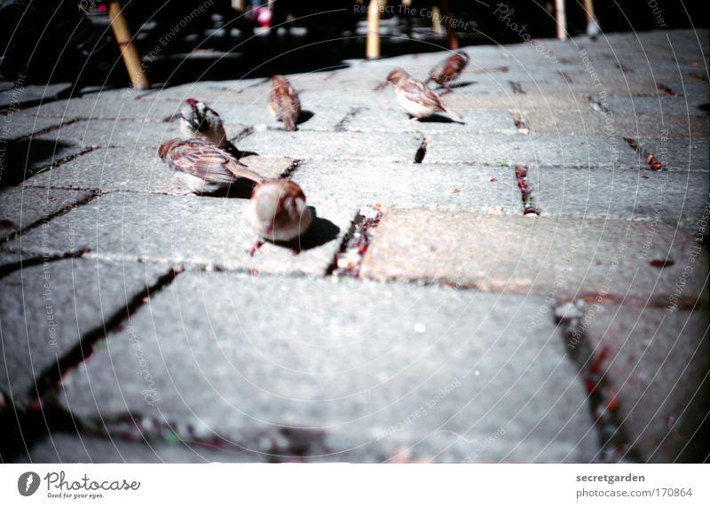 spatzen auf dem hackeschen markt. (umgeben von spinnen) Sommer Ernährung Straße braun Vogel Umwelt Erde Perspektive Platz Tiergruppe Lebensfreude Neugier Mut