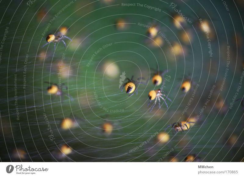 Spinnenbein und Hexengift Farbfoto Spielen Tiergruppe Netz Netzwerk Zusammensein dunkel Ekel gruselig grün gelb Angst Spinnennetz Spinnenbeine Nachkommen