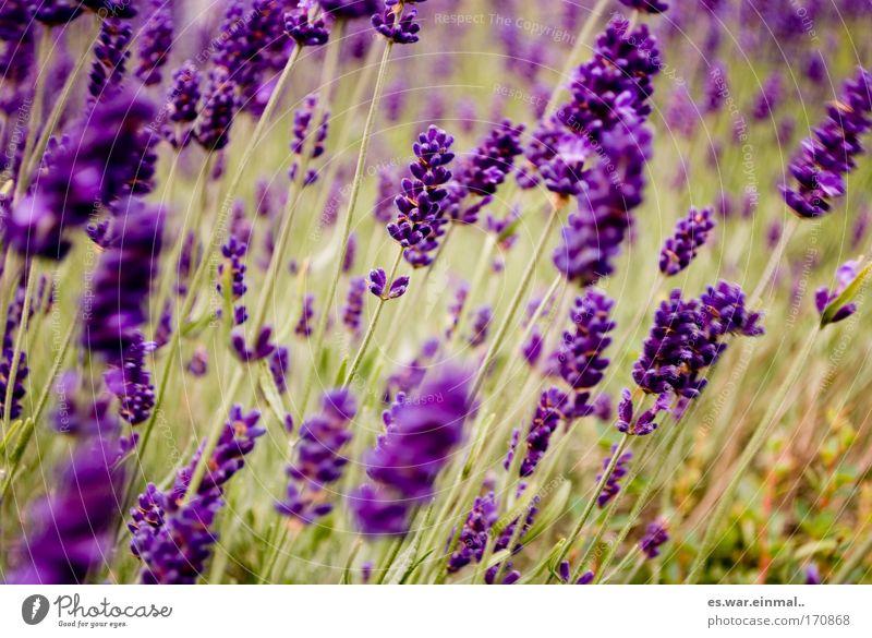 riechst du das? Natur schön Pflanze Sommer Blume ruhig Umwelt Wiese Bewegung Gras Blüte Park Gesundheit Tanzen Wachstum violett