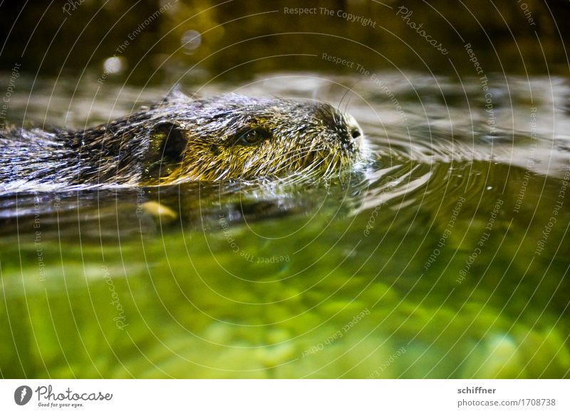 Bis zum Hals Tier 1 Schwimmen & Baden grün Biberratte Wasserratte Wasseroberfläche Tiergesicht Tierporträt Ohr Nase nass Reflexion & Spiegelung Wellen